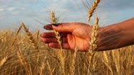 Stock Video Footage of Close up of woman's hand holding wheat
