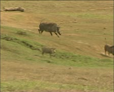 Warthog chases off competitor - stock footage