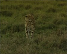 A leopard walking in late-afternoon Stock Footage