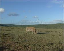 Rhino eating lush green grass. Stock Footage