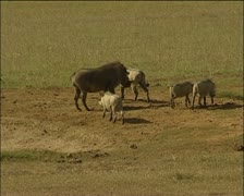 Warthogs walking to the lake and in the in lake Stock Footage