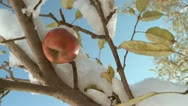 Stock Video Footage of Autumn Snow Apples