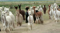 Alpaca animal herd in central Utah farm ranch HD Stock Footage