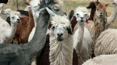Alpaca herd after shearing farm ranch Utah HD 2626 Stock Footage
