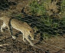 A leopard behind a wire fence Stock Footage
