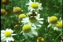 Flowers, close up, daisy with bee inside Stock Footage