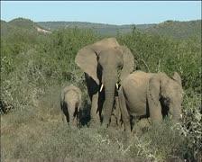 Three elephants  walking in the veld Stock Footage