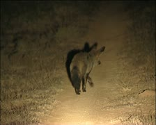 A  cape foxes  / silwervos Stock Footage