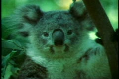Koala, close up of face, Australia Stock Footage