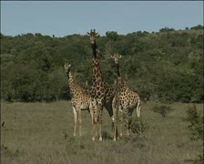 A small herd of Giraffes Stock Footage