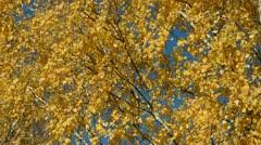 Golden autumn birch foliage background Stock Footage