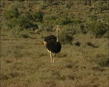 Two male ostriches Stock Footage
