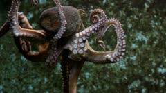 Beautiful octopus Stock Footage