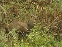 A water buck at the side of a river bank Stock Footage