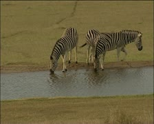 Three zebras at river Stock Footage