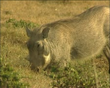 A warthog dinging Stock Footage