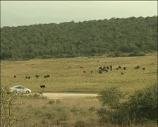 A vehicle passing a herd of buffalo and a ostrich Stock Footage