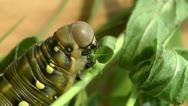Caterpillar eats Stock Footage