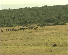 Ostrich ,zebras and bucks Stock Footage
