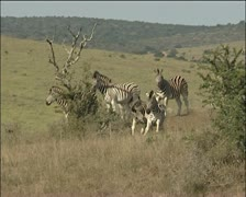 Zebras walking and playing around. Stock Footage