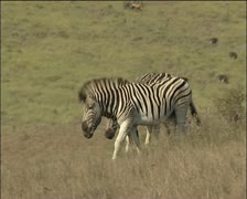 Zebras joining the herd . Stock Footage