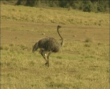 A female ostrich Stock Footage