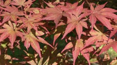 Red maple Stock Footage