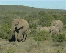 A large herd of elephants walking in the veld Stock Footage