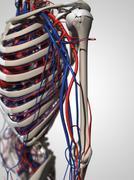 Human anatomy, artwork Stock Illustration