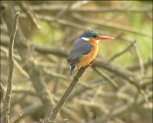 A kingfisher on a branch Stock Footage