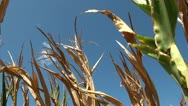 Stock Video Footage of Cornfield damaged by drought conditions
