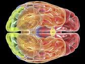 Human brain anatomy, artwork Stock Illustration