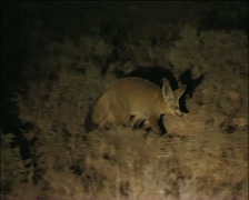 Two cape foxes  Stock Footage