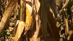 Cornfield damaged by drought conditions - stock footage