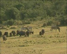 Buffalo's and zebra - stock footage