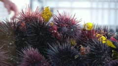 Ocean Harvest Sea Urchins (Uni) Catch Close Up Stock Footage