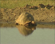 A tortoise at the waterhole - stock footage