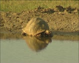 A tortoise at the waterhole Stock Footage