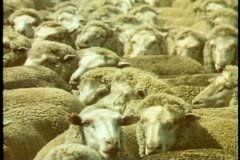 Australia, sheep ranch, Australia, sheep in pens, crowded, before shearing Stock Footage