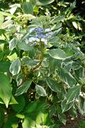 Lacecap Variagated Hydrangea Outside - stock photo
