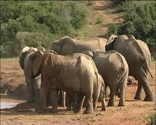 A herd of elephants next a lake one walks off. Stock Footage