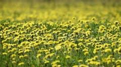 yellow dandelions in bloom 2 - stock footage