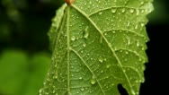 Stock Video Footage of Rain droplets on leaf