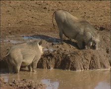 Warthogs at a  muddy  waterhole Stock Footage