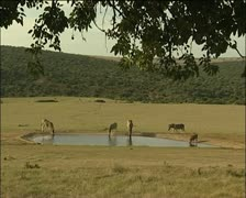 Zebras and a warthog at a man made lake. Stock Footage