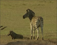 Zebra and warthog Stock Footage
