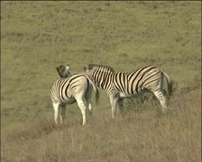 Two zebras in the veld together - stock footage
