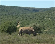 A wide of the veld and the rhino. Stock Footage