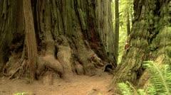 Two men walking through giant sequoia trees Stock Footage