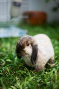 rabbit holland lop - stock photo
